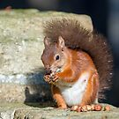 Red Squirrel on Wall by Sue Robinson
