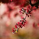 Burgundy blossoms  by Adriano Carrideo