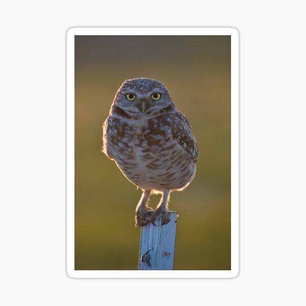 Burrowing Owl at sunset Sticker