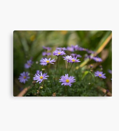 Swan River Daisies Canvas Print