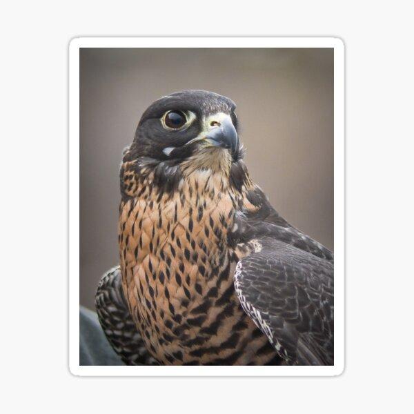 Peregrine Falcon Portrait Sticker