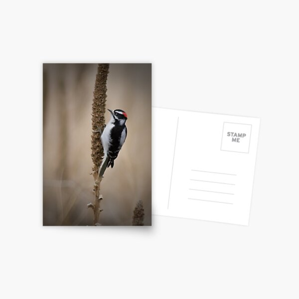 Downy Woodpecker 2 Postcard