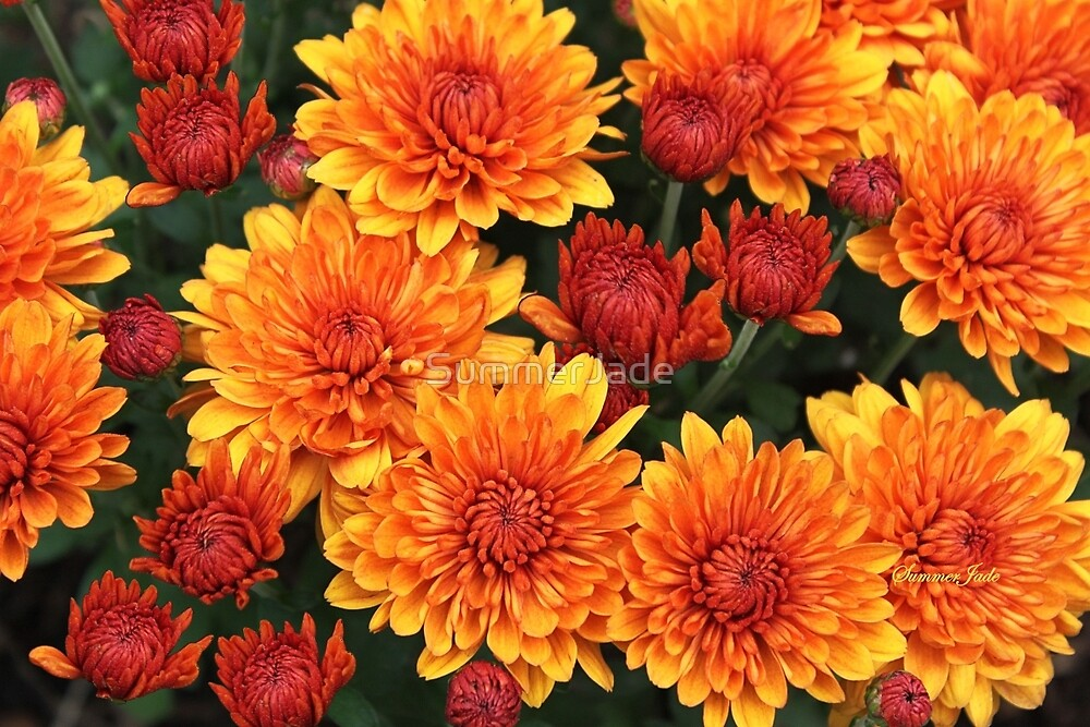 Fall Fancy ~ Rust Color Button Mums by SummerJade