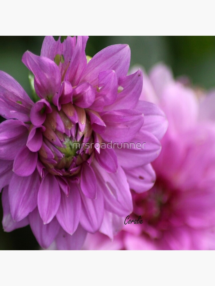 Soft Color of the Dahlia Flowers by mrsroadrunner
