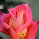 Color Of The Rose by mrsroadrunner