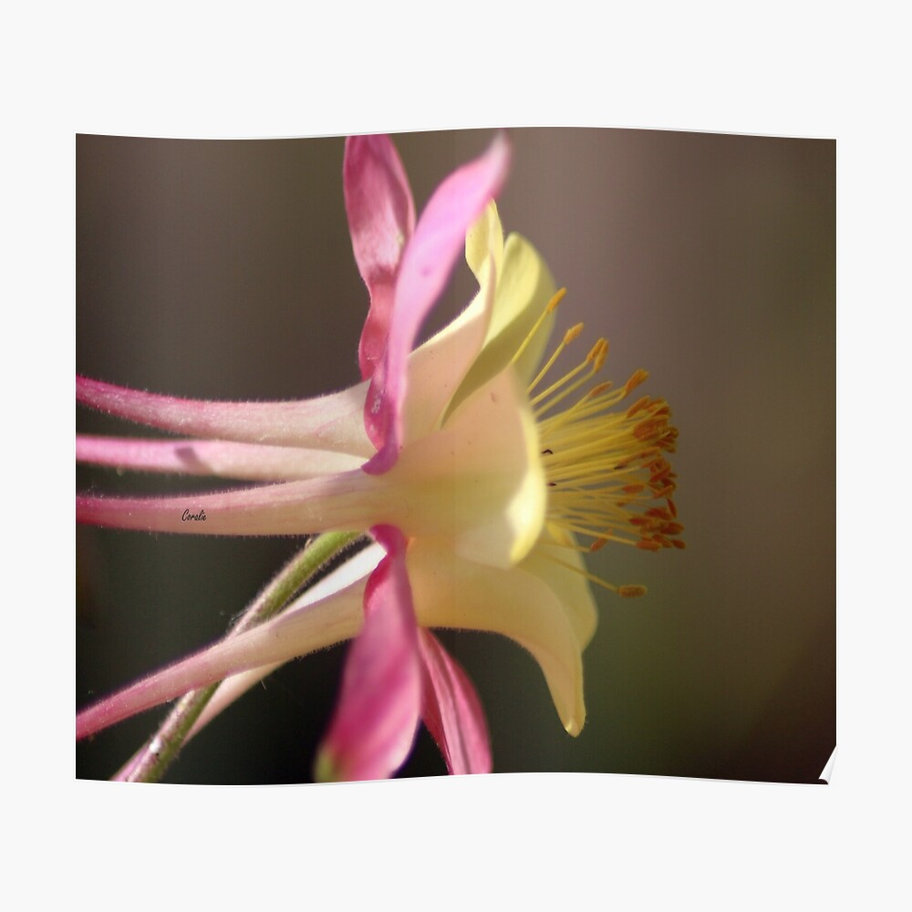 Classic Columbine Flower Bloom Poster