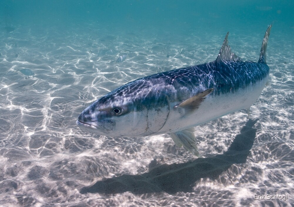 Kingfish at Ned's Beach, Lord Howe Island by Erik Schlogl