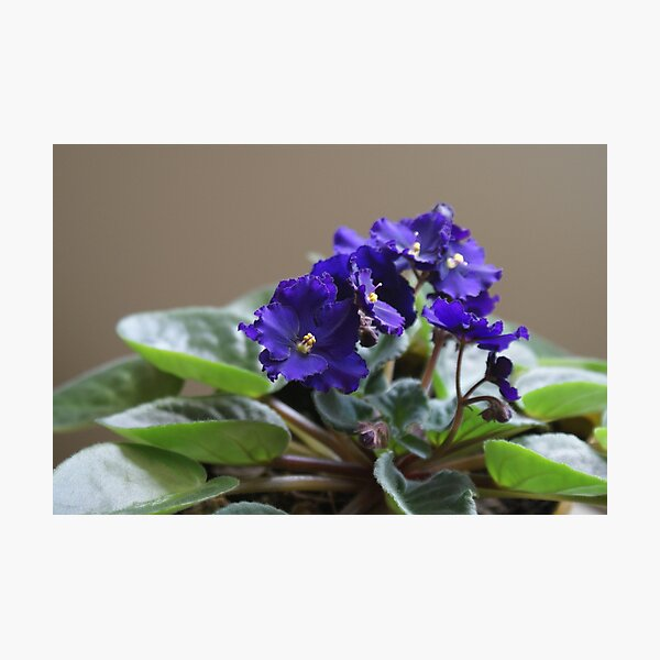 African Violet Photographic Print