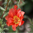 Moss Rose Bloom by mrsroadrunner