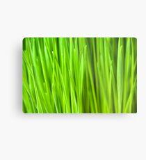 Fresh Wheatgrass background Metal Print