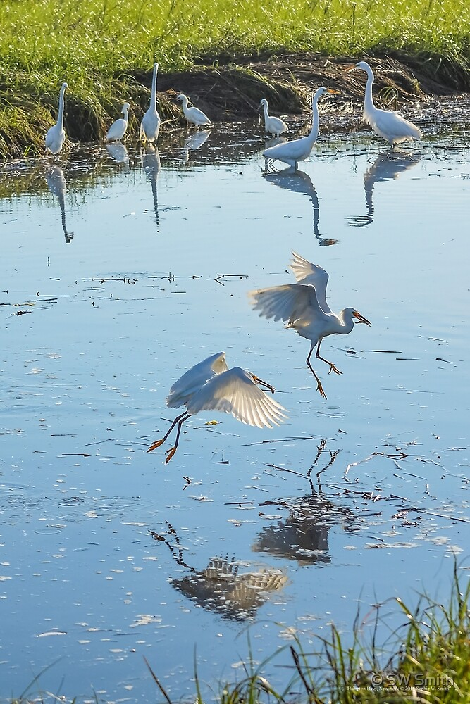 Egretta Thula -  Two Snowy Egrets With Fish In Their Beaks | Hampton Bays, New York by © Sophie W. Smith