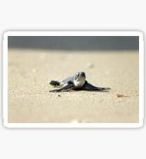 Chelonia mydas, green turtle after hatching on their first voyage to the Mediterranean Sea Sticker