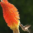 Hovering Hummer by Chet  King