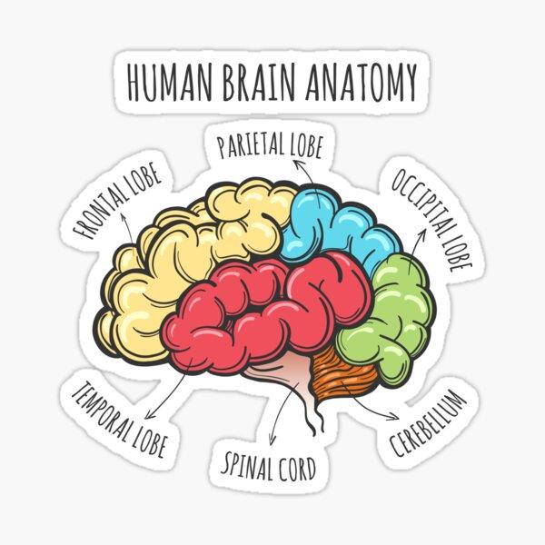 Human Brain Anatomy Sketch Sticker