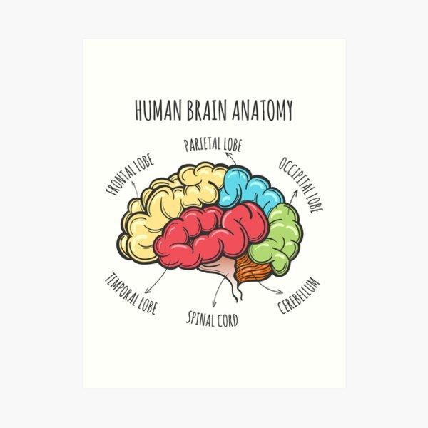 Human Brain Anatomy Sketch Art Print