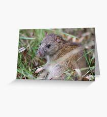 Brown Rat (Rattus novegicus) in the undergrowth. Greeting Card