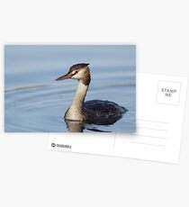 Great Crested Grebe (Podiceps cristatus) in winter plumage Postcards