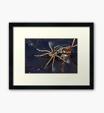 Young Raft Spider (Dolomedes fimbriatus) sitting on the surface of a pond, seemingly waiting for prey. Framed Print