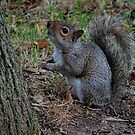 Eastern Gray Squirrel (Sciurus carolinensis) by Marilyn Harris