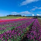Tulip Fields by diveroptic