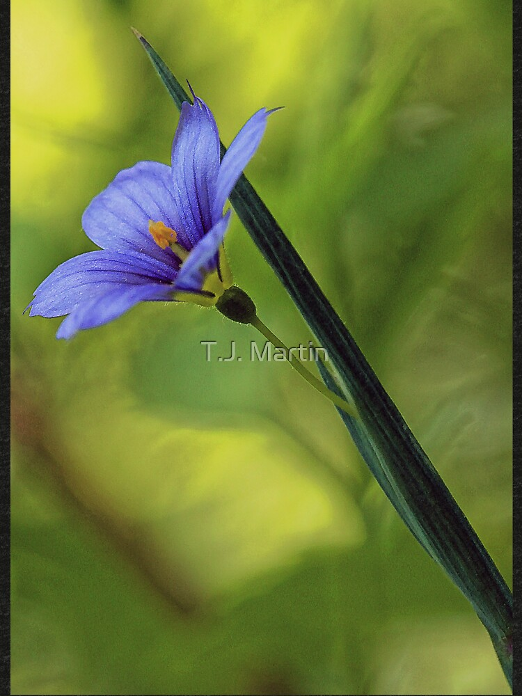 --Blue-Eyed Grass by rural-guy