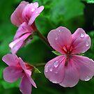 Pink Geraniums in the rain...........Dorset UK by lynn carter