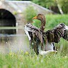 Greylag Goose by Karen Miller