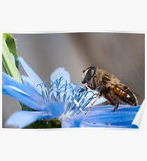 blinde bij op blauwe bloem Poster
