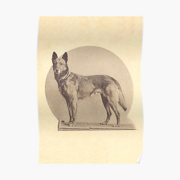 Tjop, the first Malinois celebrity Poster