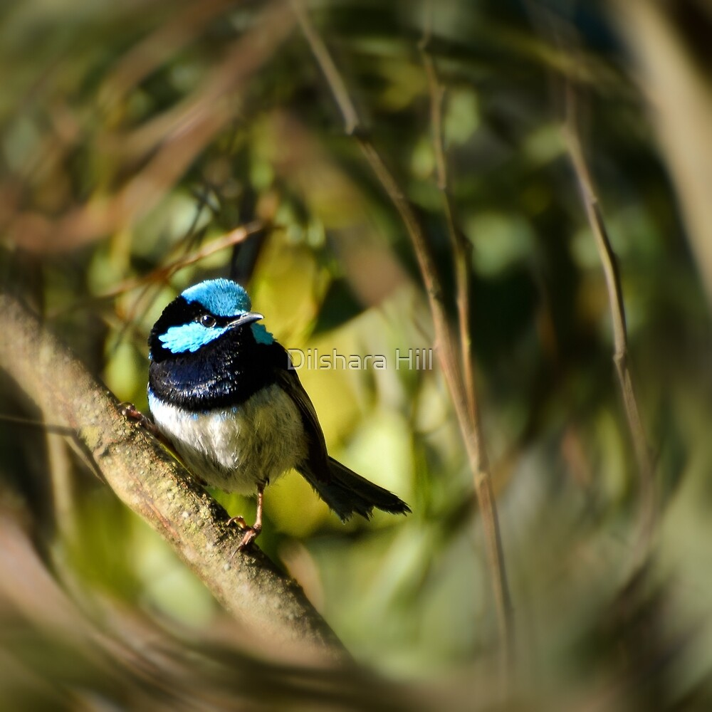Superb Fairy-wren by Dilshara Hill