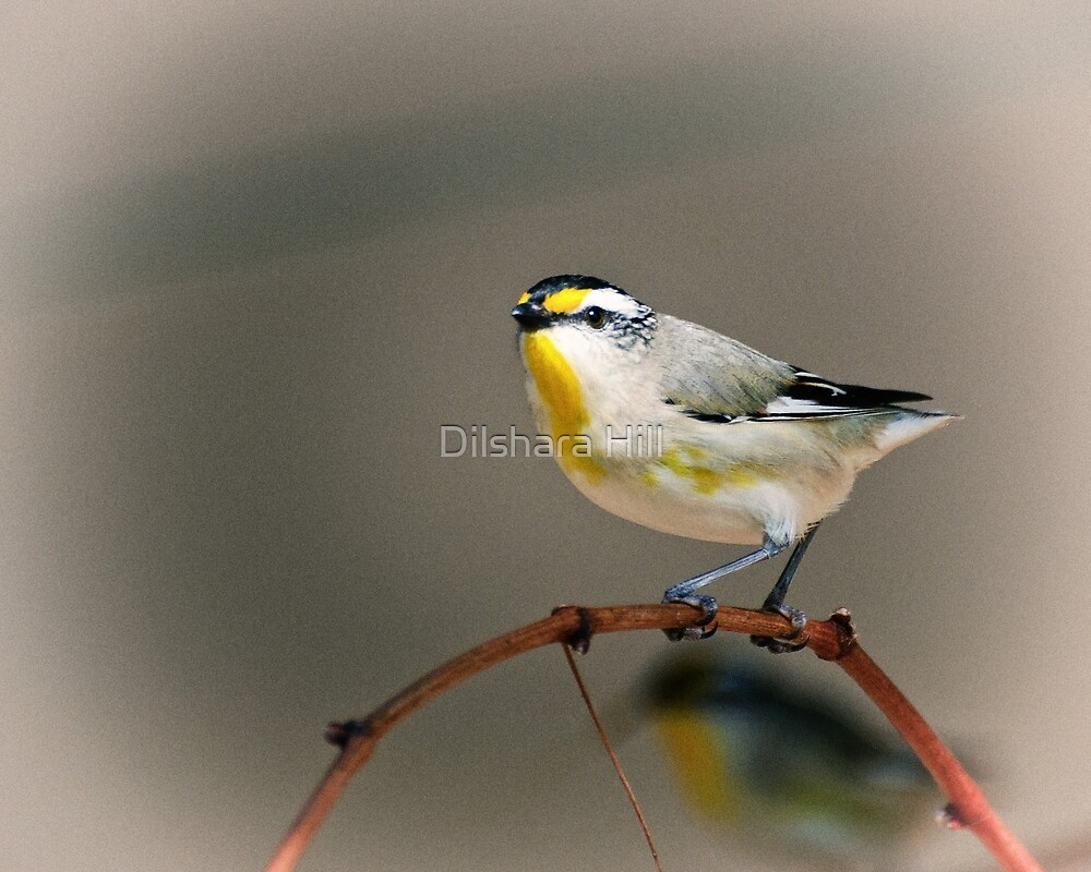 Striated Pardalote by Dilshara Hill