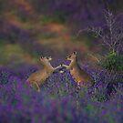 Roos in purpile  by Donovan Wilson
