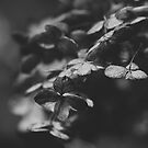 hydrangea in black and white by karenanderson