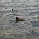 Duck in Lake Dedinky by Ilan Cohen