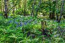Bluebells in the Taychreggan Forest, Scotland by Beth A.  Richardson