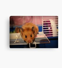 Syrian Hamster Canvas Print