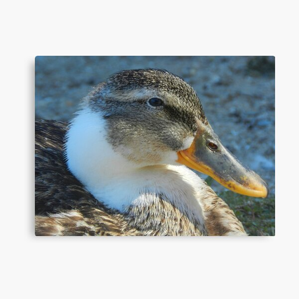 Just a Duck Canvas Print