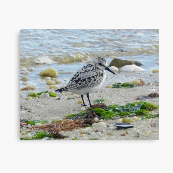 Piping Plover 2 Canvas Print