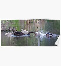 WATERFOWL ~ Black Swan and Cygnets by David Irwin Poster