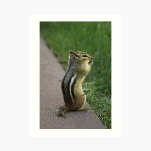 Chipmunk Looking Over the Grass Art Print