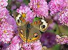 Common Buckeye Butterfly by FrankieCat