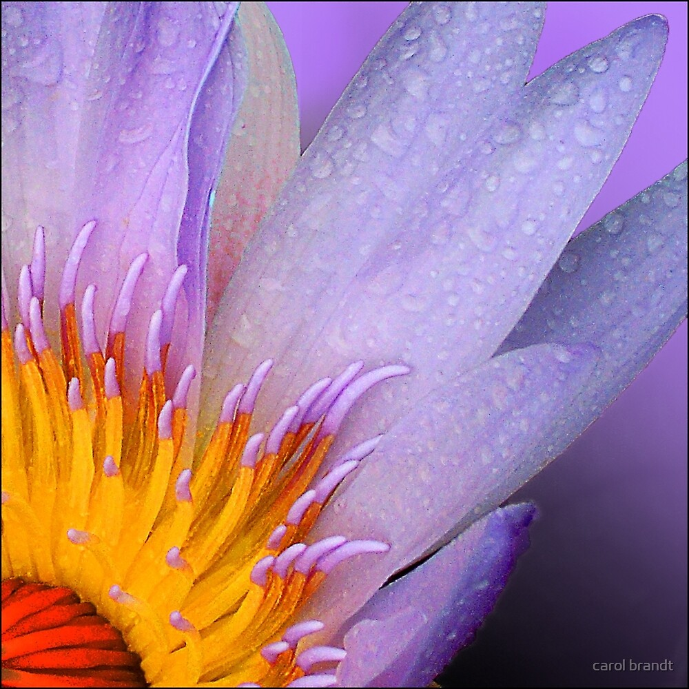 waterlilly 3 by carol brandt
