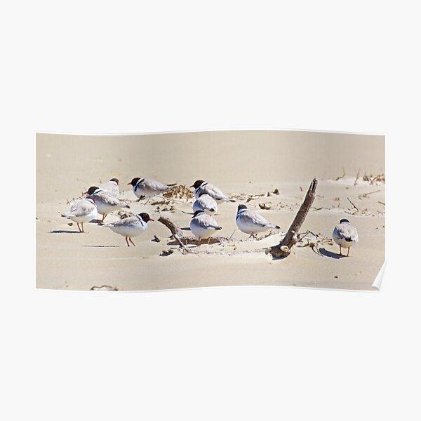 SHOREBIRD ~ Hooded Plover by David Irwin Poster