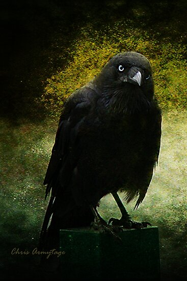 Aussie Crow by Chris Armytage™