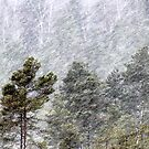 9.11.2016: Pine Trees in Snowstorm II by Petri Volanen