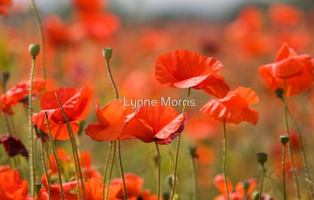 Poppy Fields by Lynne Morris