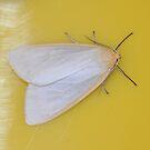 Delicate Cycnia Moth by Alice Kahn