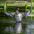 Australasian grebe by Janette Rodgers