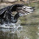 Little black cormorant by Janette Rodgers