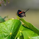 Male red-backed fairy-wren by Janette Rodgers